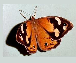 大坂なおみの「あの蝶」は蛾ではなくジャノメチョウ